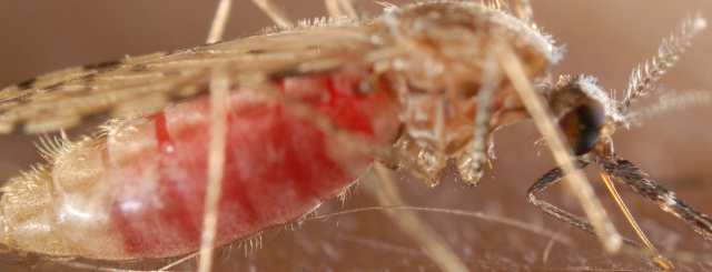 New research shows that sporozoite stage parasites inside their mosquito host use translational repression to prepare for unpredictable transmission from mosquitoes to humans. This energetically expensive strategy might have weak spots that could be exploited to fight malaria.