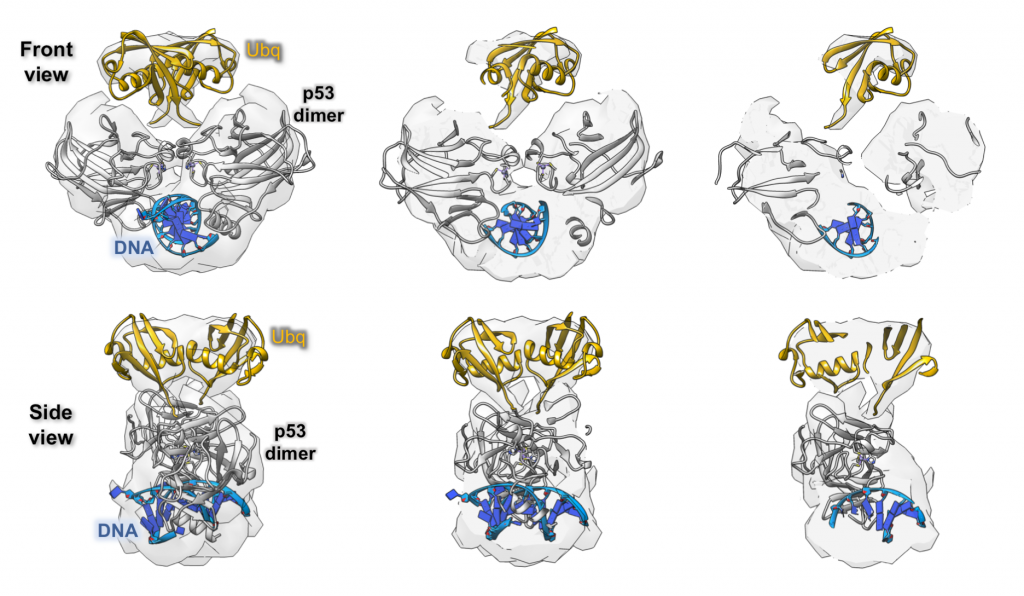 The Cryo-EM structure of DNA-bound p53 isolated from brain cancer cells.