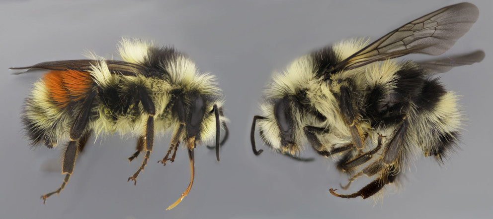 A new study led by researchers at Penn State has identified the gene responsible for the color switch between the red and black color forms of the bumble bee, Bombus melanopygus. The black form is similar to other bees in the Pacific Coastal region while the red form is similar to other bees in the Rocky Mountain region. IMAGE: LI TIAN, PENN STATE