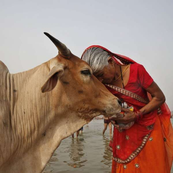Cattle are important reservoirs for the spread of tuberculosis to humans. IMAGE: VIVEK KAPUR, PENN STATE