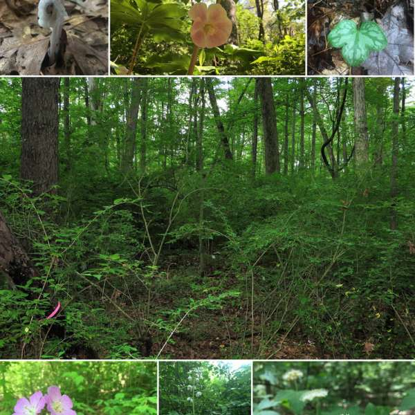 Seven years of invasive shrub removal from the Hartley Wood in The Arboretum at Penn State promoted plant diversity and facilitated passive natural regeneration of native canopy tree seedlings, understory woody species and woodland herbaceous species. Among them (top left to right) Indianpipe, mayapple and hepatica, (bottom left to right) spotted geranium, waxflower shinleaf and mapleleaf viburnum. IMAGE: ERYNN MAYNARD-BEAN / PENN STATE