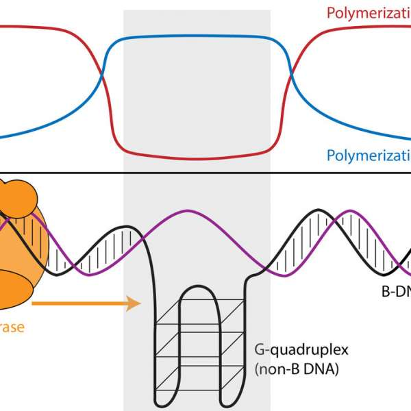 "Differences in geographic origin of a person's mitochondrial and nuclear genomes due to admixture can affect function of mitochondria, energy-generating organelles located inside cells that have their own separate genome. A new study reveals that mitochondrial DNA (mtDNA) copy number decreases with increasing ""mito-nuclear"" dissimilarity in geographic origins of the mitochondrial and nuclear genomes (e.g. as the proportion of nuclear DNA from population 1 decrease). IMAGE: ARSLAN ZAIDI, PENN STATE"