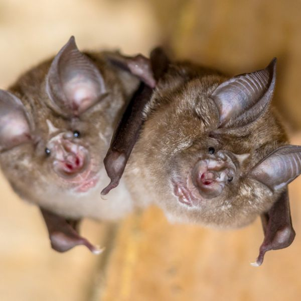 By reconstructing the evolutionary history of SARS-CoV-2, the virus that is responsible for the COVID-19 pandemic, an international research team of Chinese, European and U.S. scientists has discovered that the lineage that gave rise to the virus has been circulating in bats for decades and likely includes other viruses with the ability to infect humans. IMAGE: CREATIVENATURE_NL, ISTOCK