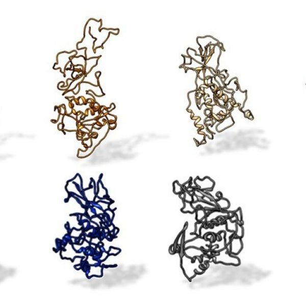 A Penn State research team found that the N protein on SARS-CoV-2 is conserved across all SARS-related pandemic coronaviruses (top, from left: SARS-CoV-2, civet, SARS-CoV, MERS). The protein differs from other coronaviruses, such as those that cause the common cold (bottom, from left: OC43, HKU1, NL63 and 229E). IMAGE: KELLY LAB/PENN STATE