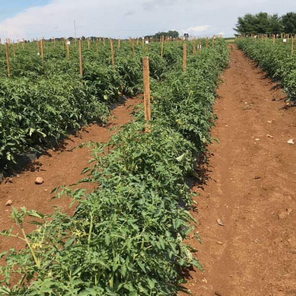 The grafted tomato plants involved in the research produced seed that resulted in progeny that were, on average, 35% more productive. And that growth vigor persisted in the progeny over five generations in the study. IMAGE: PENN STATE