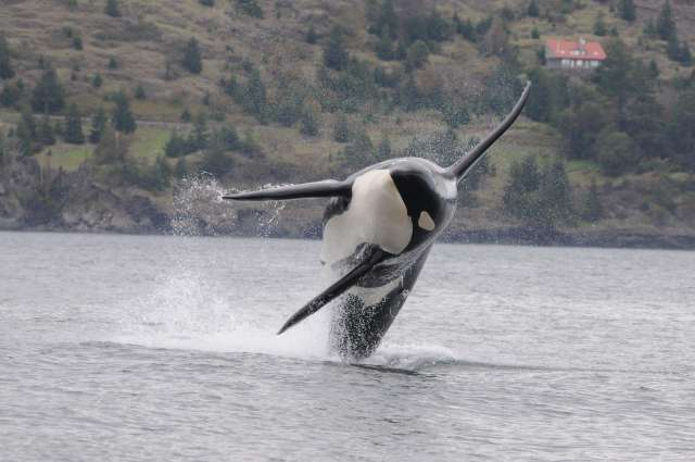 "A male orca breaching off the west side of San Juan Island in Washington state. On his left side is a suction cup-attached ""Dtag"" which records depth, sound, acceleration and 3-dimensional orientation. CREDIT: M. Brad Hanson; Taken under federal permits NMFS #'s 781-1824 and 16163"